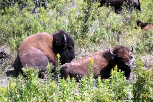 a pair of bison taking a rest