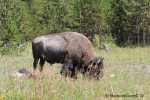 I never get tired of seeing these big guys. This one was at Yellowstone NP